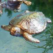 Teichdeko Schwimmschildkröte, groß